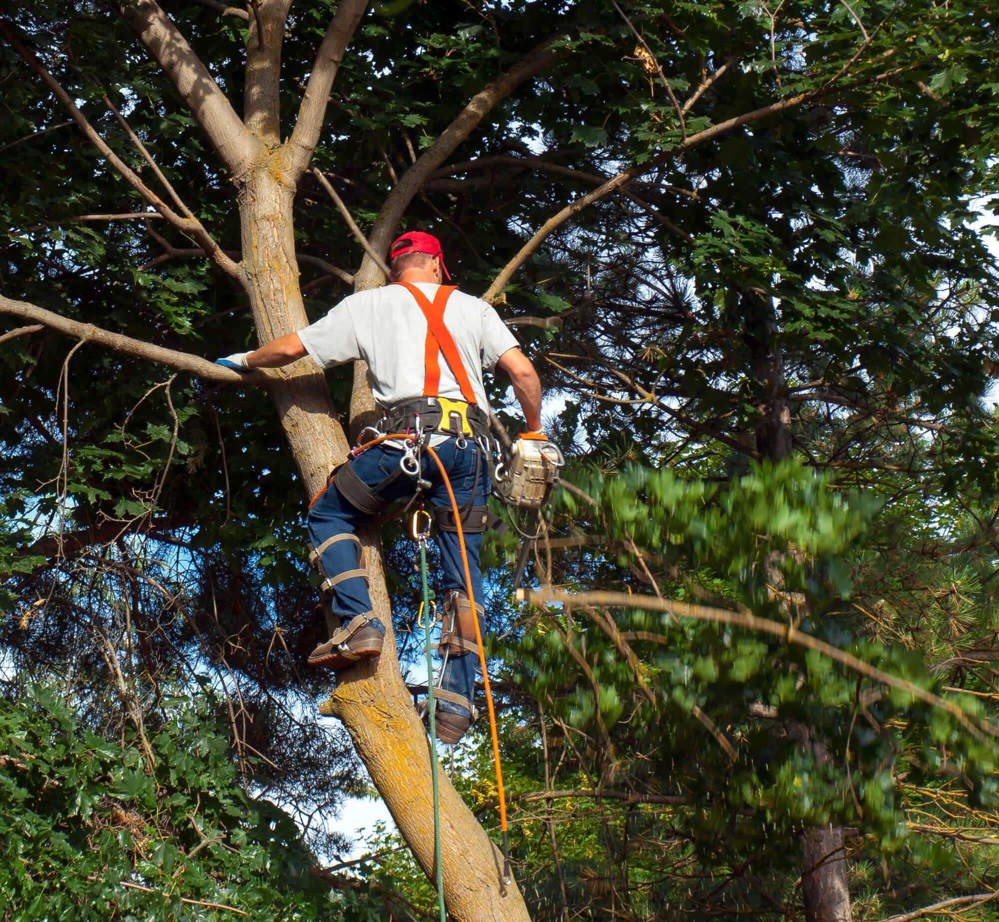 tree arborist trimming a tree - Big Easy Tree Removal